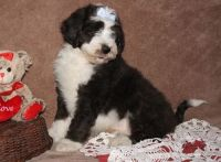 Aussie Doodles Puppies for sale in Houston, TX, USA. price: NA