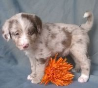 Aussie Doodles Puppies for sale in Lafayette, LA, USA. price: NA