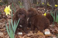 Aussie Doodles Puppies for sale in Lincoln, AL, USA. price: NA