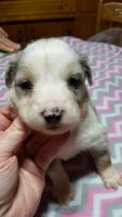 Aussie Doodles Puppies for sale in Smithton, MO 65350, USA. price: NA