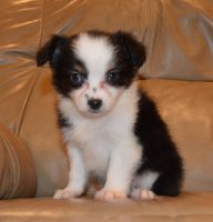 Aussie Doodles Puppies for sale in Fairborn, OH 45324, USA. price: NA