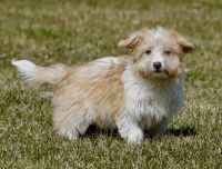 Aussie Doodles Puppies for sale in Howe, IN 46746, USA. price: NA