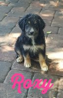 Aussie Doodles Puppies for sale in St Cloud, FL, USA. price: NA