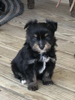 Aussie Doodles Puppies for sale in Mt Vernon, OH 43050, USA. price: NA