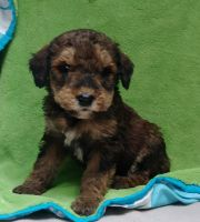 Aussie Doodles Puppies for sale in Dayton, OH, USA. price: NA