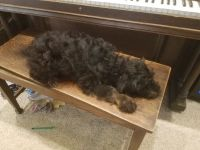 Aussie Doodles Puppies for sale in Menomonie, WI 54751, USA. price: NA