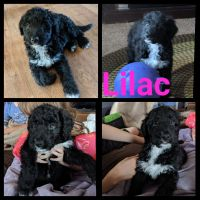Aussie Doodles Puppies for sale in Pinconning, MI 48650, USA. price: NA
