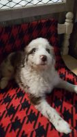 Aussie Doodles Puppies for sale in Evansville, WI 53536, USA. price: NA