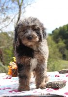 Aussie Doodles Puppies for sale in Panama City, FL, USA. price: NA