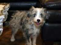 Aussie Doodles Puppies for sale in Nebraska City, NE 68410, USA. price: NA