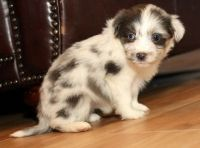 Aussie Doodles Puppies for sale in Garland City, AR, USA. price: NA