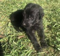 Aussie Doodles Puppies for sale in Madison, NC 27025, USA. price: NA