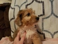 Aussie Doodles Puppies for sale in Cookeville, TN, USA. price: NA