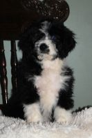 Aussie Doodles Puppies for sale in Rittman, OH, USA. price: NA