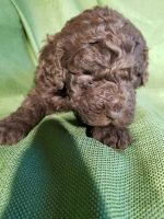 Aussie Doodles Puppies for sale in Sanford, NC, USA. price: NA