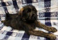 Aussie Doodles Puppies for sale in Pardeeville, WI 53954, USA. price: NA