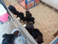 Aussie Doodles Puppies for sale in Leesburg, OH 45135, USA. price: NA