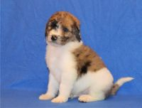Aussie Doodles Puppies for sale in Queen City, MO 63561, USA. price: NA