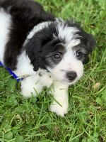 Aussie Doodles Puppies for sale in Columbia, MO, USA. price: NA