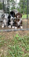 Aussie Doodles Puppies for sale in Camden, OH 45311, USA. price: NA