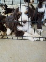 Aussie Doodles Puppies for sale in Texarkana, TX, USA. price: NA