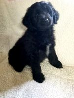 Aussie Doodles Puppies for sale in Mishawaka, IN, USA. price: NA