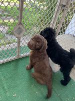 Aussie Doodles Puppies for sale in Vandergrift, PA, USA. price: NA