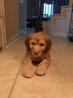 Aussie Doodles Puppies for sale in Frisco, TX, USA. price: NA