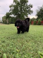 Aussie Doodles Puppies for sale in Palmyra, IN 47164, USA. price: NA