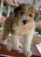 Aussie Doodles Puppies for sale in Columbus, TX, USA. price: NA