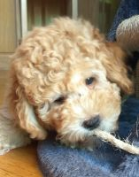 Aussie Doodles Puppies for sale in Hickory, NC, USA. price: NA