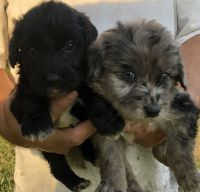Aussie Doodles Puppies for sale in Cynthiana, KY 41031, USA. price: NA