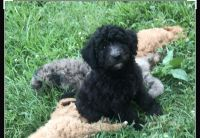 Aussie Doodles Puppies for sale in Dover, TN 37058, USA. price: NA