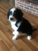Aussie Doodles Puppies for sale in White Mills, KY 42788, USA. price: NA