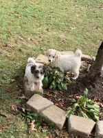 Aussie Doodles Puppies for sale in Munroe Falls, OH 44262, USA. price: NA