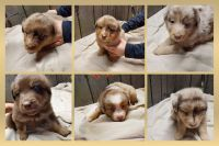 Aussie Doodles Puppies for sale in Walhalla, ND 58282, USA. price: NA