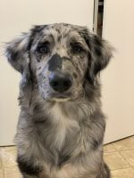 Aussie Doodles Puppies for sale in Caldwell, ID, USA. price: NA