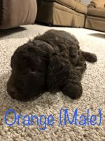 Aussie Doodles Puppies for sale in Springfield, MN 56087, USA. price: NA