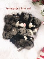 Aussie Doodles Puppies for sale in Berry, AL 35546, USA. price: NA