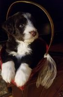 Aussie Doodles Puppies for sale in Elkhart, IN, USA. price: NA