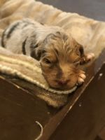 Aussie Doodles Puppies for sale in Blanding, UT 84511, USA. price: NA