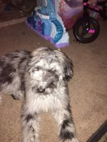 Aussie Doodles Puppies for sale in Winchester, TN 37398, USA. price: NA