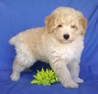 Aussie Doodles Puppies for sale in Hansville, WA, USA. price: NA