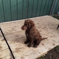 Aussie Doodles Puppies for sale in Chillicothe, OH 45601, USA. price: NA