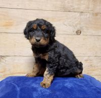 Aussie Doodles Puppies for sale in Wauseon, OH 43567, USA. price: NA