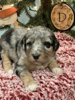 Aussie Doodles Puppies for sale in Greensburg, KY 42743, USA. price: NA
