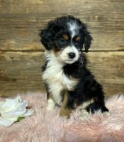 Aussie Doodles Puppies for sale in Holmes County, OH, USA. price: NA