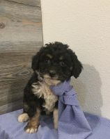 Aussie Doodles Puppies for sale in Townville, PA 16360, USA. price: NA