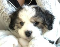 Aussie Doodles Puppies for sale in Danville, CA, USA. price: NA