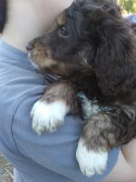 Aussie Doodles Puppies for sale in Ozark, AR 72949, USA. price: NA